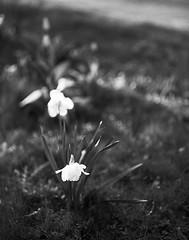 Påskeliljer (LarsHolte) Tags: pentax 67 6x7 pentax67 pentax6x7 smctakumar6x7 135mm f40 foma fomapan fomapan100 fomapan100professional caffenolc standdevelopment 100iso mediumformat blackandwhite monochrome bw 120film analog analogue classicblackwhite filmforever filmphotography ishootfilm larsholte homeprocessing daffodils flowers garden sunset danmark denmark