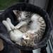 Bowl Of Kittens