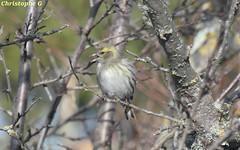 Madame Tarin des aulnes (Refuge lpo - Entraigues sur la sorgue - 3 février 2019) (1) (Carnets d'un observateur de la nature du Sud de la) Tags: tarindesaulnes passereau oiseau nature biodiversité ligueprotectionoiseaux entraiguessurlasorgue vaucluse provence