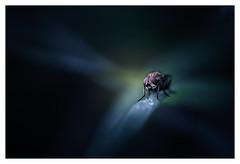 Le monstre (Hexilene) Tags: nikon nature nikonpassion nikond750 sigma105mm macrophotographie macro proxy