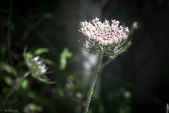 Blooming in the Sun (sharongellyroo) Tags: umbellifer umbelliferwednesday huw flowers holidays portugal armacaodepera sunshine