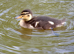 Duckling (Tony Worrall) Tags: preston lancs lancashire city welovethenorth nw northwest north update place location uk england visit area attraction open stream tour country item greatbritain britain english british gb capture buy stock sell sale outside outdoors caught photo shoot shot picture captured ilobsterit instragram photosofpreston ashtononribble ashton wet water canal birds wild wildlife natural duck baby small duckling