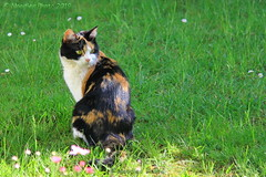 Glückskatze - Tortoiseshell cat (in explore 15.05.2019) (Noodles Photo) Tags: tortoiseshellcat glückskatze tricolor cat katze felissilvestriscatus canoneos7d ef24105mmf4lisusm deutschland germany nordrheinwestfalen northrhinewestphalia