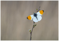 Orange Tip (nigel kiteley2011) Tags: orangetip anthochariscardamines butterfly butterflies lepidoptera nature insects macro canon 5dmk3 sigma180mm