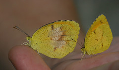 Chilled sleepy oranges (cotinis) Tags: insect lepidoptera butterfly pieridae coliadinae abaeis abaeisnicippe eurema euremanicippe sleepyorange northcarolina piedmont canonef100mmf28macrousm fieldtrip dnhs20060909 bmna nc september inaturalist