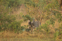 A long way from home, plains zebras, Shai Hills Resource Reserve, Ghana (inyathi) Tags: africa westafrica ghana africananimals africanwildlife plainszebras equusquagga shaihillsresourcereserve