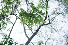 Robinia pseudoacacia (Amselchen) Tags: plants bokeh blur dof depthoffield season earlysummer sony zeiss carlzeiss sonyilce7rm2 fe55mmf18za sonnar5518za sonnart1855
