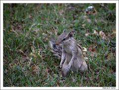 The Squirrel... (Verma Ruchi) Tags: squirrel grass green