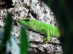 Madagascar Day Gecko - Phelsuma madagascariensis (Roger Wasley) Tags: madagascar day gecko phelsumamadagascariensis lizard reptile captive