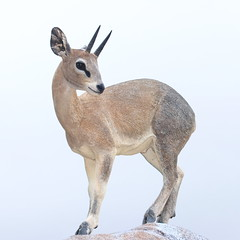 San Diego Zoo Posing Klipspringer (Jay Costello) Tags: sandiegoca sandiego sandiegozoo california ca animal mammal klipspringer antelope deer horned