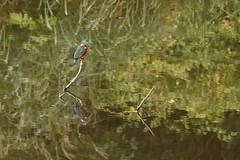 カワセミ (Alcedo atthis) (Hachimaki123) Tags: 国立科学博物館附属自然教育園 institutefornaturestudy 日本 japan 東京 tokyo animal pájaro pajaro ave 鳥 動物 カワセミ alcedoatthis