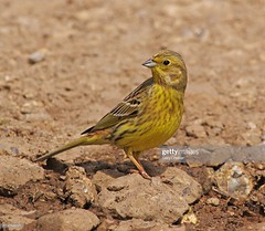 Yellowhammer  female (Gary Chalker, Thanks for over 4,000,000. views) Tags: yellowhammer bird female pentax pentaxk3ii k3ii pentaxfa600mmf4edif fa600mmf4edif fa600mm 600mm