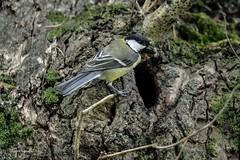 """""""Une chenille pour la nichée"""" (leguen.maxime) Tags: mésange noire charbonnière animal oiseau nature mai 2019 clisson sèvre nid arbre trou chenille"""