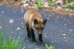 Snoopin' (curious_spider) Tags: fox redfox foxes foxkit foxpup foxcub puppycat babyfox
