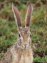African Savanna Hare Lepus victoriae (nik.borrow) Tags: mammal hare ndutu