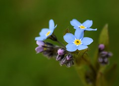 Forget Me Not (jmunt) Tags: wildflower flower nature forgetmenot myosotis