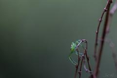 Aranea (_MarcoM_) Tags: ragno aranea aracnide spider green verde nature macro natura italy italia