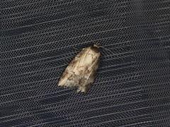 Oecophorinae sp. (dhobern) Tags: 2019 april australia lamingtonnationalpark lepidoptera queensland oecophoridae oecophorinae