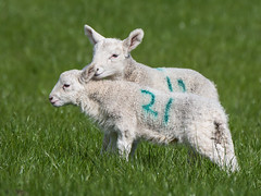 Don't look now... (Maria-H) Tags: lamb glossop derbyshire highpeak uk olympus omdem1markii panasonic 100400