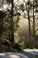 Magic Light (Helen C Photography) Tags: trees sun mist backlight backlit sunset dusk australia forest nikon d750