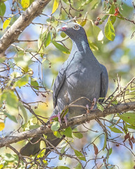 White-crowned Pigeon in tree (wplynn) Tags: patagioenas leucocephala whitecrowned pigeon white crowned wild bird antigua island caribbean westindies threatened endangered galleybay resort spa vulnerable