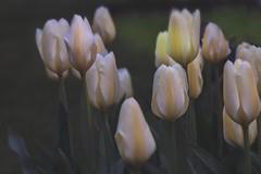 tulipes ouvrent le printemps / Tulips open spring (cébé céline) Tags: bourgeons tulipes printemps froid cold spring tulips buds montréal