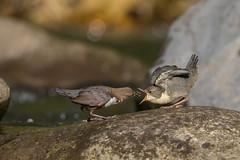 1828 huuunger!!! (wsprecher) Tags: cinclus wasseramsel wildlife dipper rheintal