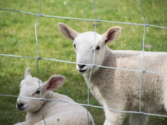 Please Don't Kill Me For My Leg of Lamb. (RS400) Tags: lamb sheep outside wow cool travel olympus kill animals cute farm farming lake district uk grass earth life rights food meat