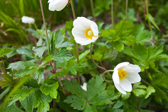 Spring @ Emmetts (Adam Swaine) Tags: macro petals emmetts emmettsgdns naturelovers nature nationaltrust gardens kent england english britain british uk ukcounties beautiful canon white naturesfinest garden rockgarden alpineflowers stamen