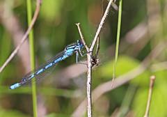 Common Blue Damselfly - Michael Bird (Just call me Doc) Tags: enallagmacyathigerum commonbluedamselfy damselflies dragonfly dragonflies odanata corbettsmeadow attenboroughnaturereserve nottingham nottinghamshire canon 6d 100mm macro f28l michaelbird
