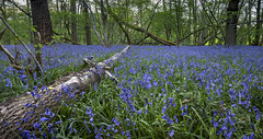 Fallen (Through Bri`s Lens) Tags: sussex bluebell silverbirch woods forest brianspicer canon5dmk3 canon1635f4