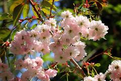 Blossom (PJ Swan) Tags: blossom spring flowers trees durham botanic gardens england springtime