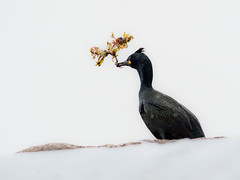 No easy task a windy day (Fjällkantsbon) Tags: skarvar hornöya norge fåglar finnmark varanger evamårtensson toppskarv sjöfågel europeanshag phalacrocoraxaristotelis vardø finnmarkfylkeskommune winter windy nestmaterial