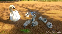 Adorable Swan family. 8 cute baby Cygnets. (peterileypics) Tags: