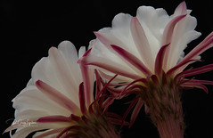 Cactus flower - Take 4 (craig lefebvre) Tags: flower cactusflower nature flora color lighting lefebvre cactus plant