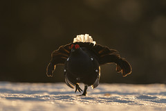 A9_05859 (msmedsru) Tags: black grouse lek finland kuusamo spring snow sunrise golden hour