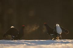 A9_05726 (msmedsru) Tags: black grouse lek finland kuusamo spring snow sunrise golden hour