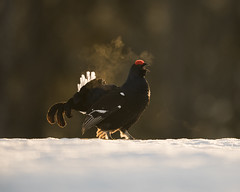 A9_06003 (msmedsru) Tags: black grouse finland kuusamo spring snow golden hour