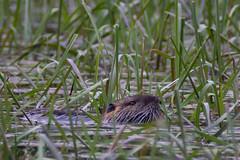 DSC_7140-4.jpg (martin remigy) Tags: faune ragondin