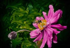Bee on flower (Sigi Deczki) Tags: