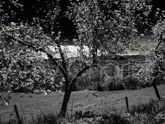 Cerezo estrellado (Amy Charlize) Tags: amycharlize focosocial arboles trees art blackandwhite black country dream details fotografía cherrytree inspiration landscape monochrome naturaleza nature photography visual rural