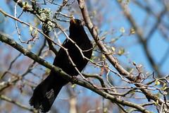 Blackbird (evisdotter) Tags: blackbird koltrast bird fågel nature sooc spring turdusmerula