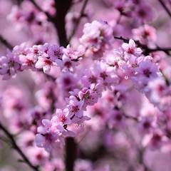 Colorful peach blossoms 🌸 (Martin Bärtges) Tags: spring frühjahr frühling sonne sonnenschein sunshine sun rose pink farbenfroh colorful natur nature naturephotography naturfotografie outside outdoor drausen nikonphotography nikonfotografie z6 nikon pfirsichblüten pfirsich blumen flowers blühen blüten blossoms peach