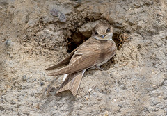 DSC1655  Sand Martin.. (Jeff Lack Wildlife&Nature) Tags: sandmartin martins birds bird avian animal animals wildlife wildbirds sand dunes burrows hirundines summermigrant countryside coastalbirds nature coth5