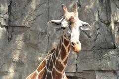giraffe (greenelent) Tags: zoo giraffe animal chicago 365 photoaday