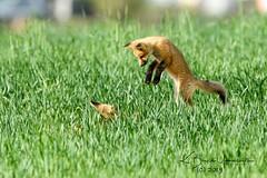 Pounce! (bryce yamashita) Tags: colorado d850 fox foxkit nature nikon redfox wildlife yamashita