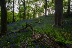 Bluebell forest (Glen Parry Photography) Tags: glenparryphotography hebdenbridge landscape calderdale craggs d7000 forest hardcastlecrags landscapephotography nikon nikond7000 nikonphotography nikonphotographer sigma sigma1020mm westyorkshire woodland woods