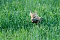 (bryce yamashita) Tags: colorado d850 fox foxkit nature nikon redfox wildlife yamashita