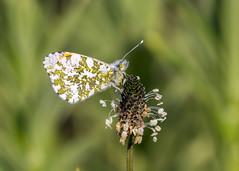 orange tip - male (alderson.yvonne) Tags: butterfly male orangetip summer warm may