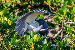 Tricolor Heron Checking Under the Hood (dbadair) Tags: outdoor seaside sky nature wildlife 7dm2 7d ii ef100400mm canon florida bird
